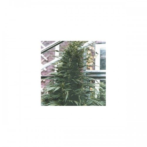 Nirvana Seeds Urban Poison Regular Seeds