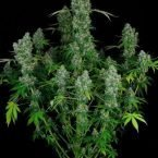 Serious Seeds Warlock regular seeds