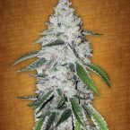 Fast Buds West Coast O.G. feminised seeds