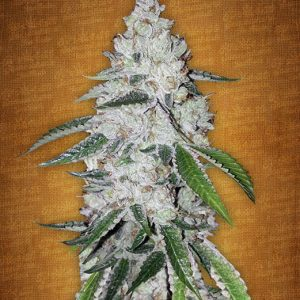 Fast Buds West Coast O.G. feminised seeds
