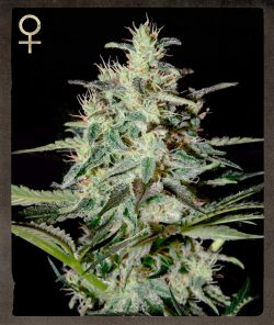 Strain Hunters White Lemon Feminised Seeds
