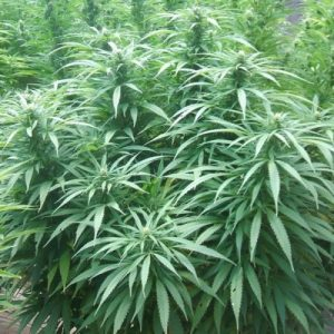 Nirvana Seeds White Rhino Regular Seeds