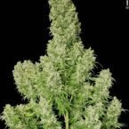 Serious Seeds White Russian regular seeds