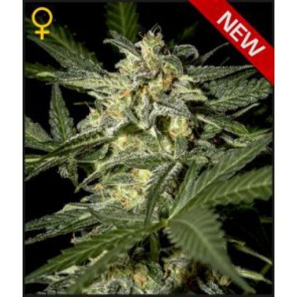 Greenhouse Seed Co. White Widow AUTO Feminised Seeds