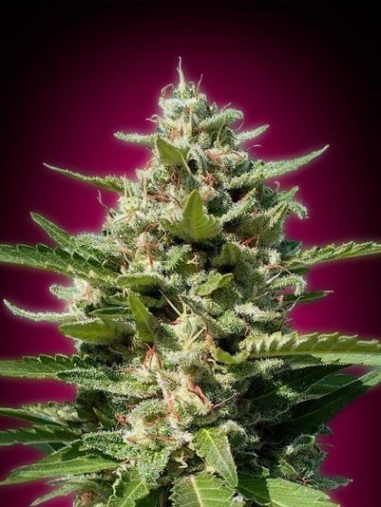 Advanced Seeds White Kush Feminised seeds