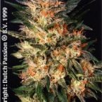 Dutch Passion White Widow Feminised Seeds