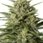 Dinafem White Widow XXL AUTO Feminised Seeds