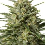 White Widow XXL AUTO Feminised Seeds