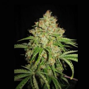 Lowlife seeds Auto white Russian regular