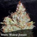 White Widow female seeds