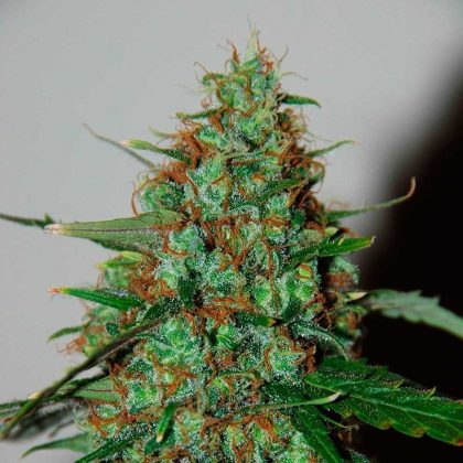 World of Seeds Wild Thailand Ryder Autoflowering Feminised Seeds