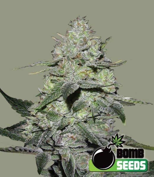 Gorilla bomb cannabis seeds