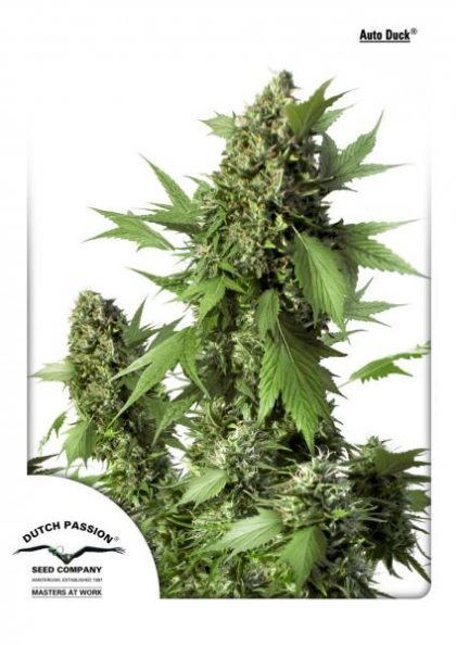 Dutch Passion Auto Duck Feminised Seeds