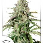 Auto Colorado Cookies Feminised seeds