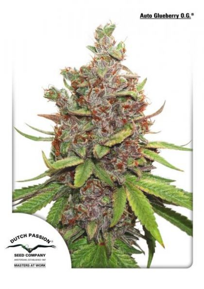 Dutch Passion Auto Glueberry O.G Feminised Seeds