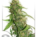 CBD Auto Compassion Lime feminised seeds