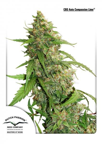 Dutch Passion CBD Auto Compassion Lime feminised seeds