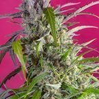 Sweet Seeds Crystal Candy Auto female seeds