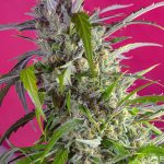 Crystal Candy Auto female seeds