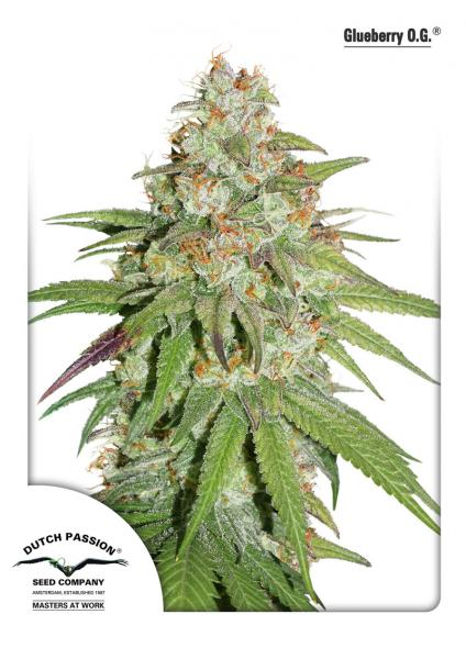 Dutch Passion Glueberry O.G Feminised Seeds