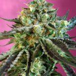 Sweet Nurse Auto CBD female seeds