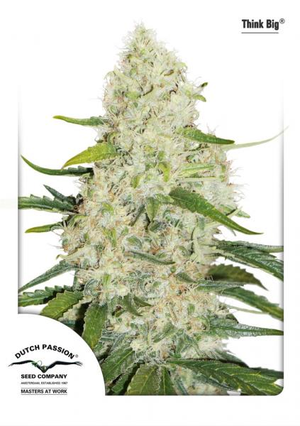 Dutch Passion Auto Think Big Feminised Seeds