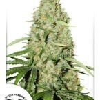 Dutch Passion Think Fast Feminised seeds