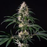 Hiydrow (HY-1) Feminised Seeds
