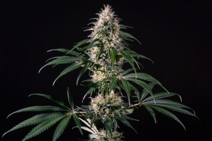 Medical Marijuana Genetics Hiydrow (HY-1) Feminised Seeds