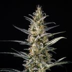Medical Marijuana Genetics Candida (CD-1) Feminised Seeds