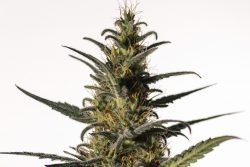 candida medical marijuana genetics