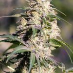 Green Doctor (GD-1) Feminised Seeds