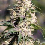 Green Doctor (GD-1) Feminised Seeds