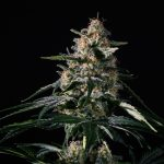 Nightingale (NN-1) Feminised Seeds