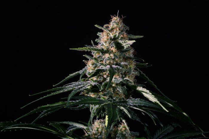 Medical Marijuana Genetics Nightingale (NN-1) Feminised Seeds