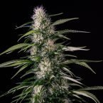 Medical Marijuana Genetics Txaki (TX-1) Feminised Seeds