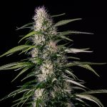 Txaki (TX-1) Feminised Seeds