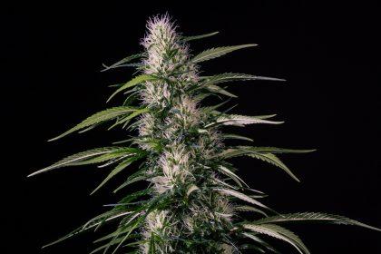 Medical Marijuana Genetics Txaki (TX-1) Feminised Seeds