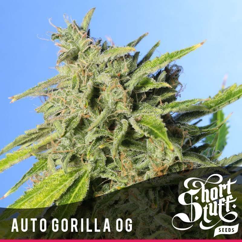 Shortstuff seeds Auto Gorilla OG feminised
