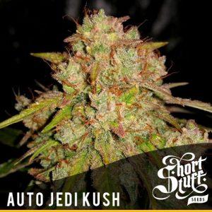 Shortstuff seeds Auto Jedi Kush feminised