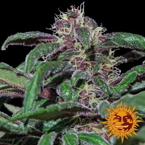 Barneys Farm Ayahuasca Purple feminised