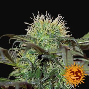 Barneys Farm Bad Azz Kush Feminised