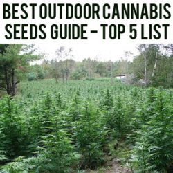 best outdoor cannabis seeds