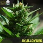 skullryder feminized seeds
