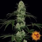 Barney's Farm Tangerine dream auto feminised seeds