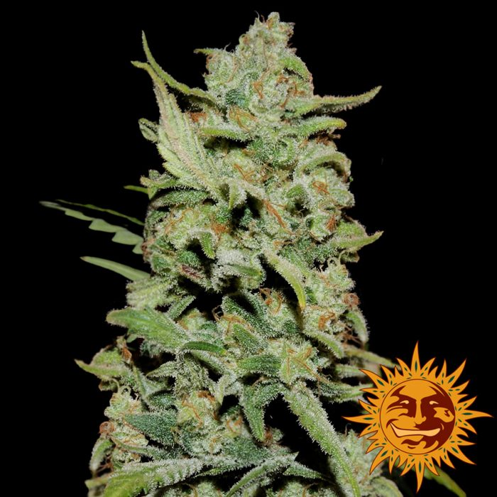 Barneys farm peyote critical female seeds