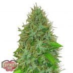 Heavyweight Seeds Auto 2 Fast 2 Vast Feminised Seeds