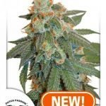 Auto Orange Bud feminised seeds