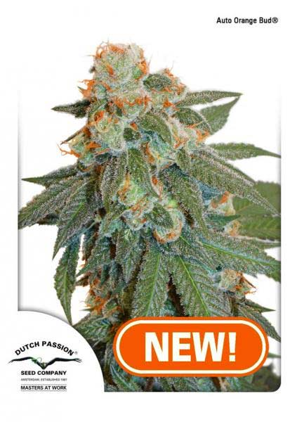 Buy Dutch Passion Auto Orange Bud female seeds