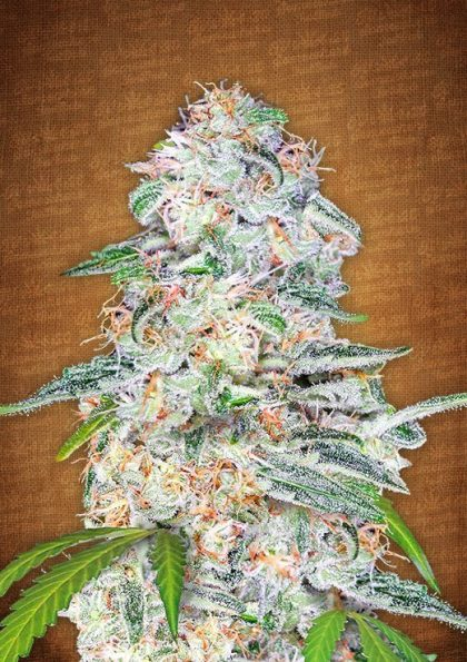 Fast Buds Seeds Blue Dream'matic